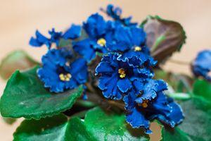 flower blue violet