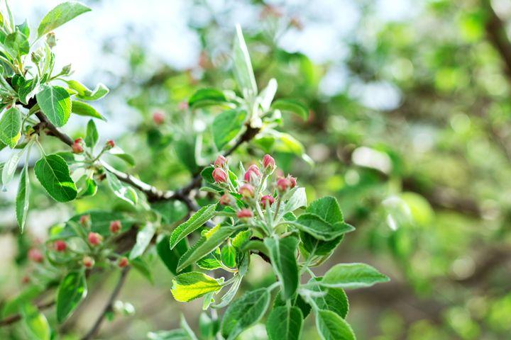 apple tree in bloom - Igor Koshliaev