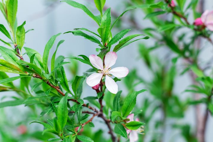 barberry flower - Igor Koshliaev