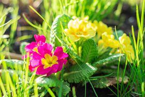 primrose flower - Igor Koshliaev