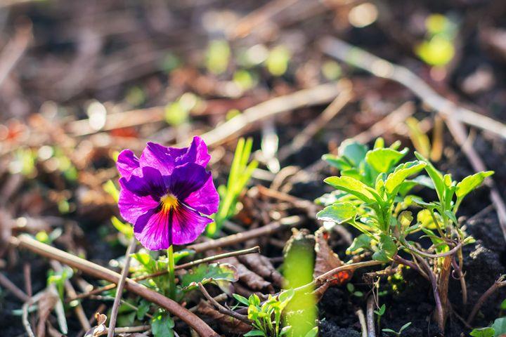 petunia flower - Igor Koshliaev