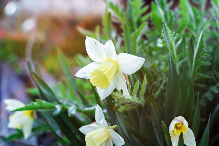 narcissus flower - Igor Koshliaev