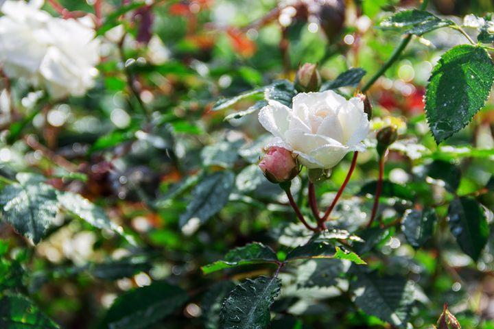 white rose in a garden - Igor Koshliaev