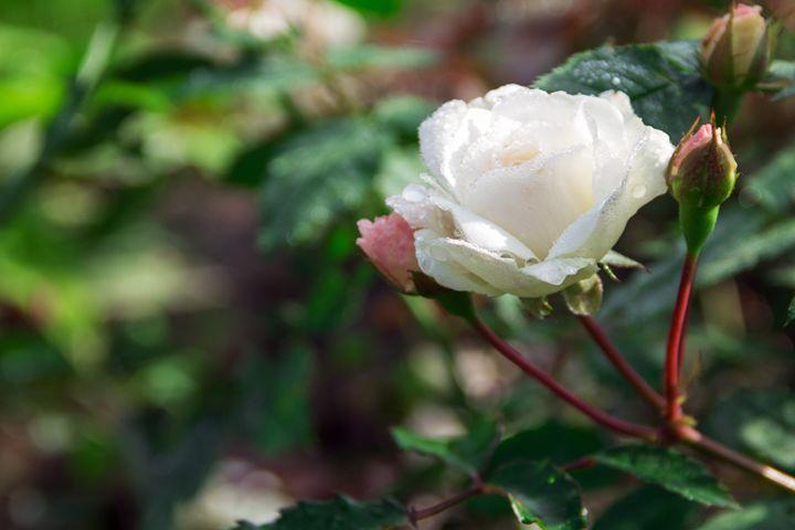 raindrops on a white rose - Igor Koshliaev