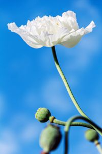 White poppy flower