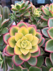 Sunshine Star Cactus Flower