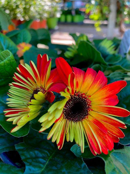 Orange & Green Daisy - Jill Michaels Photography