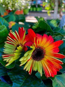 Orange & Green Daisy