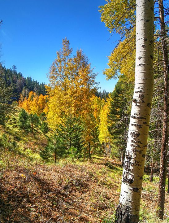 Mountain Aspens - Lion's Gate and Open Road Photography