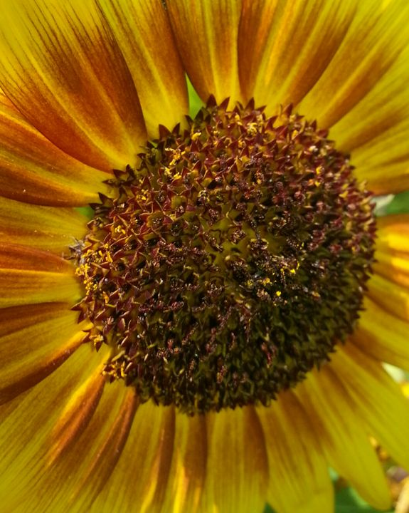 sunflower too - Medicine Dog
