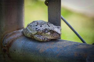 Irongate Frog