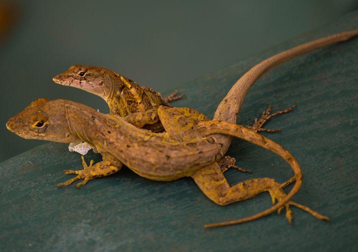Lizard Love - Hartshorn Studios