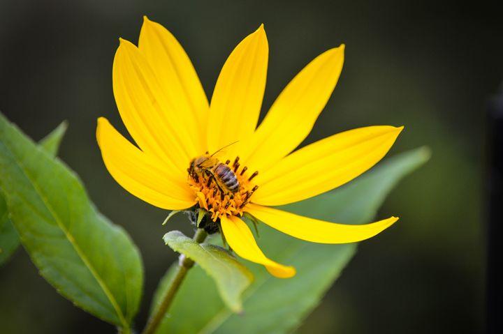 Bee Lunchtime - Hartshorn Studios