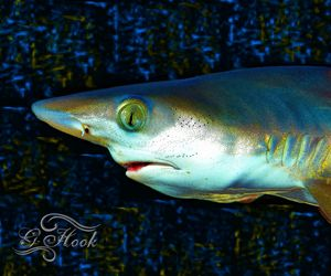 16x20 Blacktip Shark