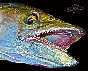 16x20 Kingfish Bust
