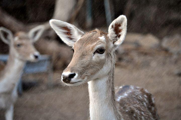 Dearest Deer - AttitudeAngels Photography