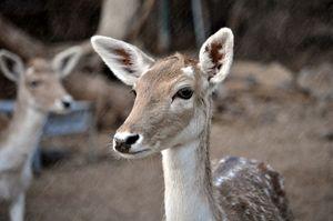 Dearest Deer