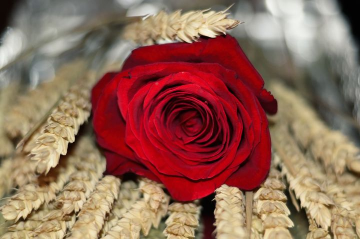 Red Rose and Wheat - Diana Mary Sharpton Photography