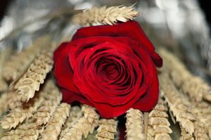 Red Rose and Wheat