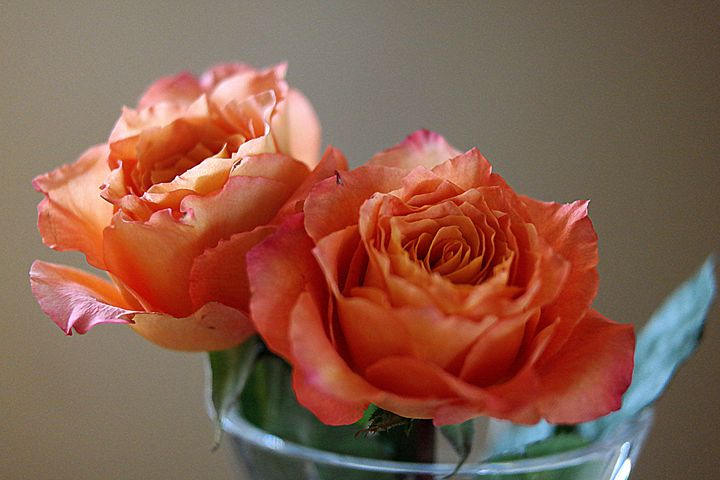 Peach Delight - Diana Mary Sharpton Photography