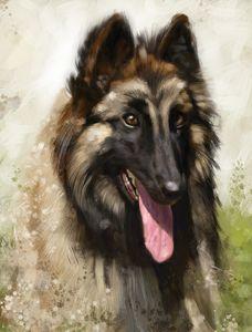 Belgian Shepherd - Vanderwyst