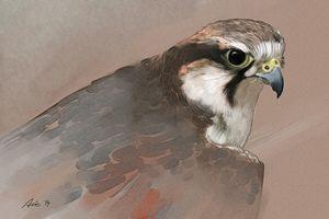 Falcon - Vanderwyst