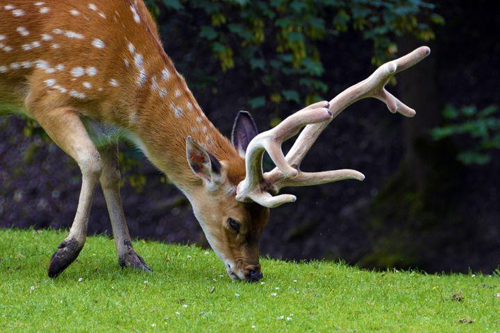 Fallow Deer - Mixed Imagery