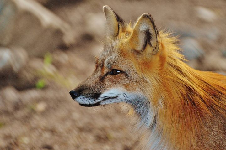 Inquisitive Mr. Fox - Mixed Imagery