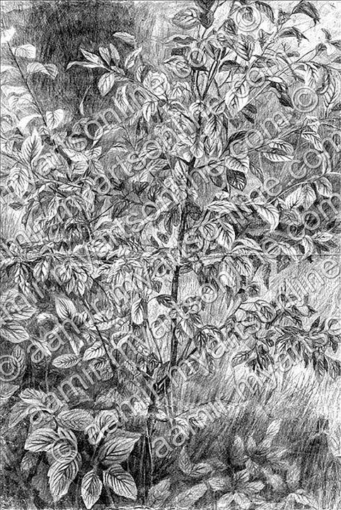 Garden Tree - Aamir Show