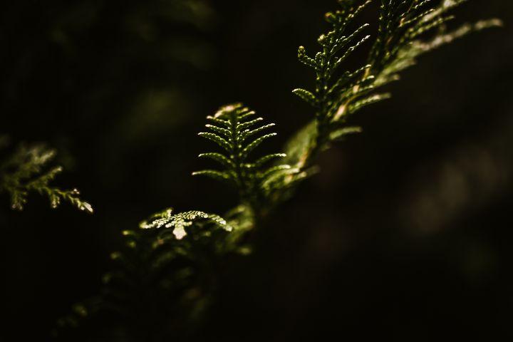 Branche de pin - Baptiste Natanelic Photographie
