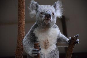 Gazing Koala
