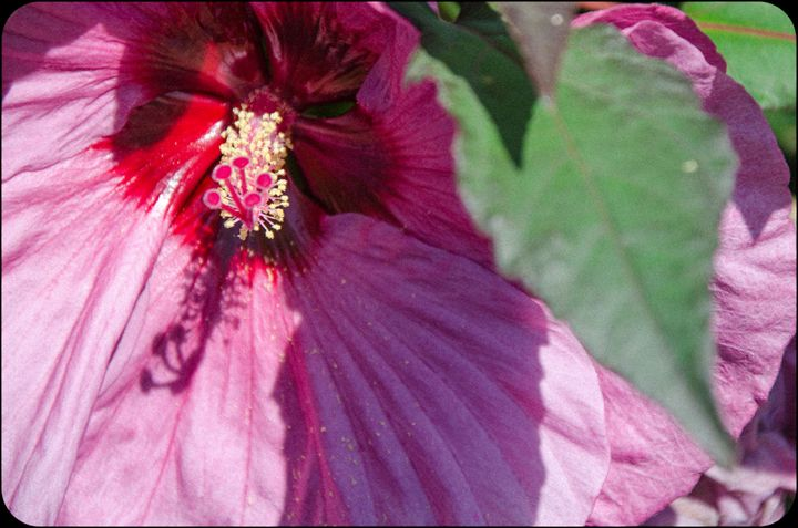 Hibiscus Plant - StackTown Films