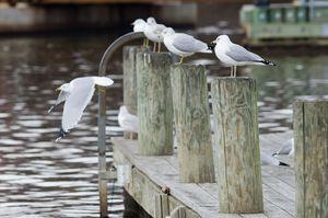 seagulls assemble